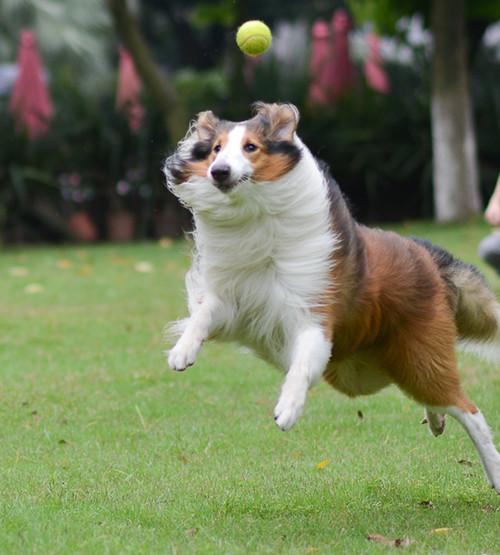 狗狗跳跃训练 训犬敏捷运动比赛 训犬赛跑 训狗敏捷运动 狗狗运动比赛